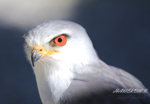 Blackshouldered Kite (Elanus caeruleus)